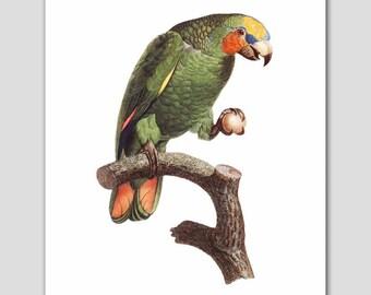 """Bird Art, Parrot Print (Home Office Artwork, Green Wall Decor) """"Favorite Toy"""" 18th Century Artist"""