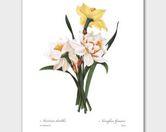 Botanical Art, Daffodil Print (Country Cottage Wall Decor, Spring Flower Art) -- Pierre Redoute