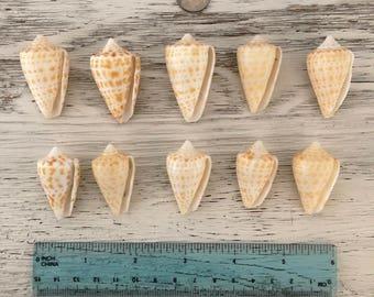 10 alphabet cones from Southwest Florida seashells, sea shells, sanibel