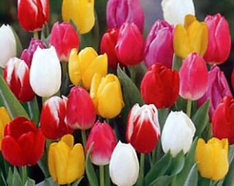 Rainbow Mix Tulip 20 Bulbs - Bright Array of Colors - 12/+ cm Bulbs