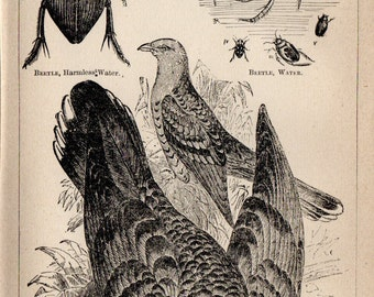 Antique Print, 1871 CHANNEL BILL BIRD beetles, Engraving, beautiful wall art vintage engraved b/w illustration animals 15