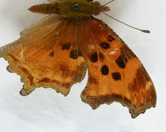 Anglewing butterfly - The Comma- Real Framed Butterfly -