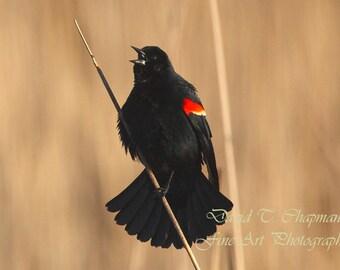 Singing Red-winged Blackbird