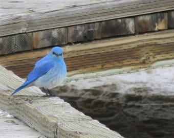 Mountain Bluebird print