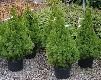 LIVE Dwarf Alberta Spruce aka Picea conica Live Plants  Fit 2 Gallon Pot - MOR