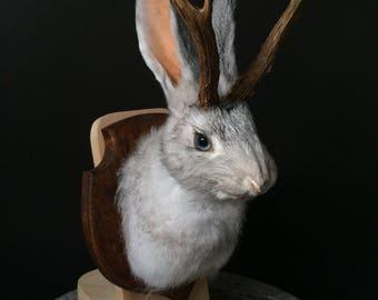 Taxidermy jackalope, cute grey Bunny
