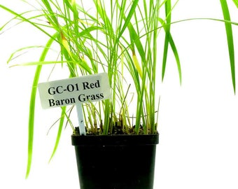 Baron grass - Imperata Cylindrica 'Red Baron' (GC01)