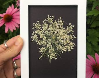 Pressed Queen Anne's Lace