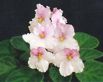 African Violet Allegro Apple Blossom
