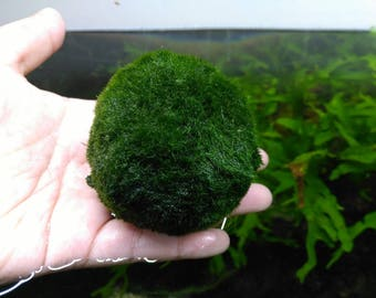 Marimo Moss Ball 6-7 cm + 1 Small 2-3 cm aquarium planted tank terrarium