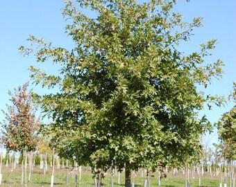 Pin Oak Tree-(quercus palustris)
