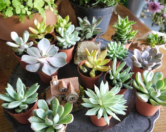 "Set of 10 Mixed Succulent Plants in 5.5cm (2.5"") Pots. Indoor/House Plants. Terrariums. Living Walls. Fairy Garden. Wedding Favours"