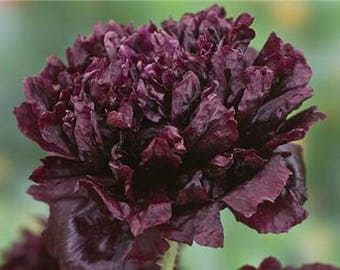 Poppy 'Black Peony' Seeds / AKA Black paeony  Papaver somniferum / Opium Poppy