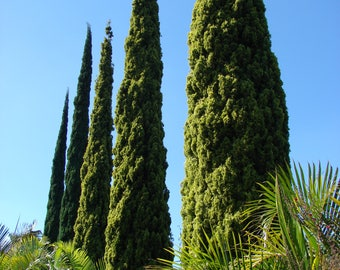 LIVE Italian Cypress Tree Seedling Starter Plug 3-5+ Inches Cupressus sempervirens - Mediterranean Cypress, Tuscan Cypress