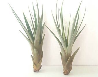 "Tillandsia ""Fasciculata"" Air Plant Pair"