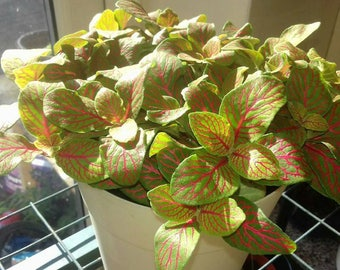 Fittonia verschaffeltii potted house plants Free pots in any color