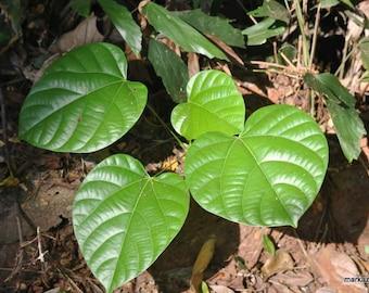50 Cocculus indicus, Anamirta cocculus, FISH BERRY Seeds
