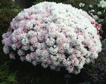 20 Rhododendron yakushimanum makiyak