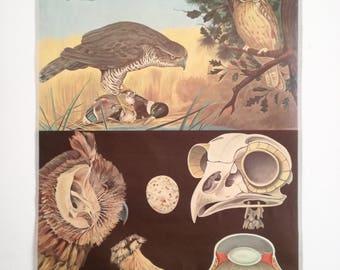 Vintage Pull Down Chart, Jung Koch Quentell, Hagemann, Vintage Poster, Educational Chart, Birds of Prey, Bird, Owl, Vintage Science Poster