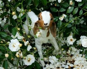Taxidermy Baby Goat
