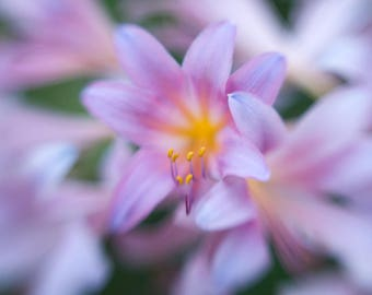 Photo of Pink and Violet Surprise Lilies, Flower Print, Nature Photography