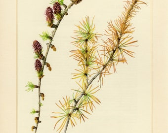 Vintage larch etsy vintage lithograph of the european larch from 1958 sciox Image collections