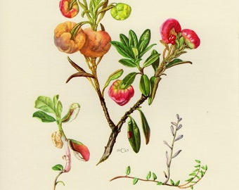 Vintage lithograph of plant pathogens, exobasidium vaccinii, exobasidium rhododendri, exobasidium oxycocci from 1963