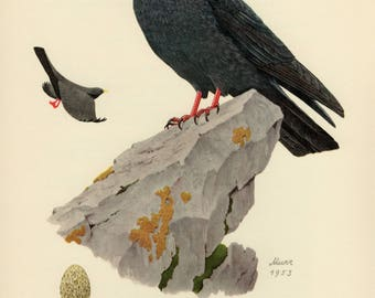 Vintage lithograph of the Alpine chough or yellow-billed chough from 1953