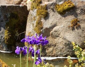 Purple Iris group