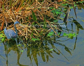 Little Blue Heron Nature Photography Bird Water Photograph Picture
