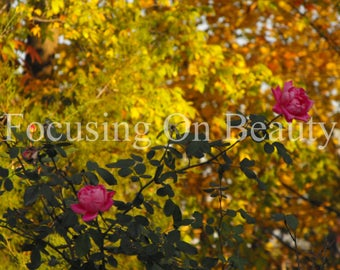Pictures of Flowers / Autumn Roses / Photography Download