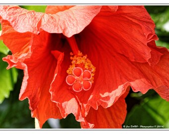 Hibiscus flower in a garden