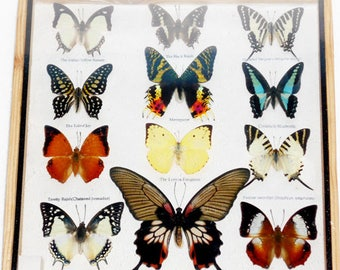 REAL 12 Mix Butterfly For Sale  In Wood Frame Taxdermy