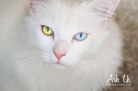 poster chat blanc aux yeux vairons bleu jaune. Black Bedroom Furniture Sets. Home Design Ideas