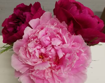 Two Red and One Pink Peonies