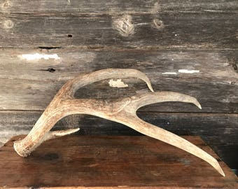 Large Deer Antler Naturally Shed - One of a Kind