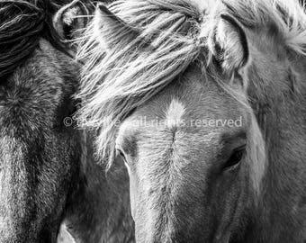 Icelandic Horses B&W