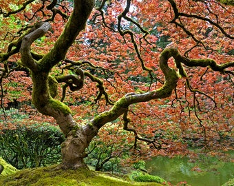 Portland Japanese Maple in Fall