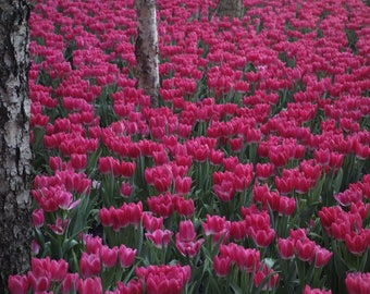 Pink tulips in the park/Flowers/Nature