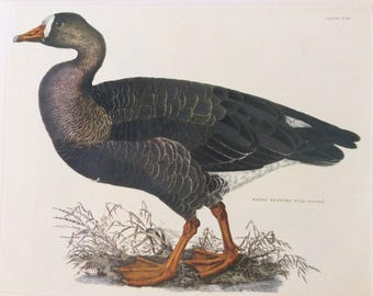 White Fronted Goose by Lizars,  1990s Reproduction Colorplate, Book Plate, 10 x 14 in. Book Page Print, Bird Print, Ornithology Print