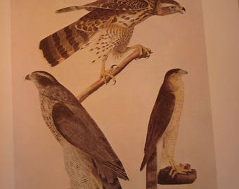 Vintage - Hawks - Audubon Color Plate from 1800   - gift for birders - nature lovers 8.25 by 5 inches - Florida Keys ready to frame