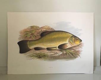 1879 tench fish print original antique sea life ocean marine animal print by houghton
