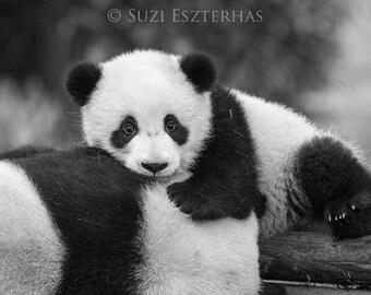 BABY PANDA PHOTO, Baby Animal Photograph, Baby Animal Print, Black and White Photography, Wall Decor, Safari Nursery Art, Kids Room Decor