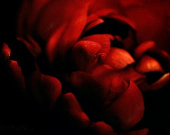 Abstract crimson red flower photography red and black nature print wall art modern fine art photograph simple floral home decor