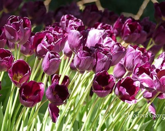 Purple Tulips Photography, Flower Photography, Garden Photography, Purple Tulips, Purple Flowers, Spring Flowers
