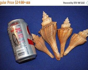 15% OFF Large Fusus Sea shells, 3 1/4 inch to 4 1/4 inch seashells, DIY Seashell Shadowbox supplies, Shell Crafts, Free Shipping, #271