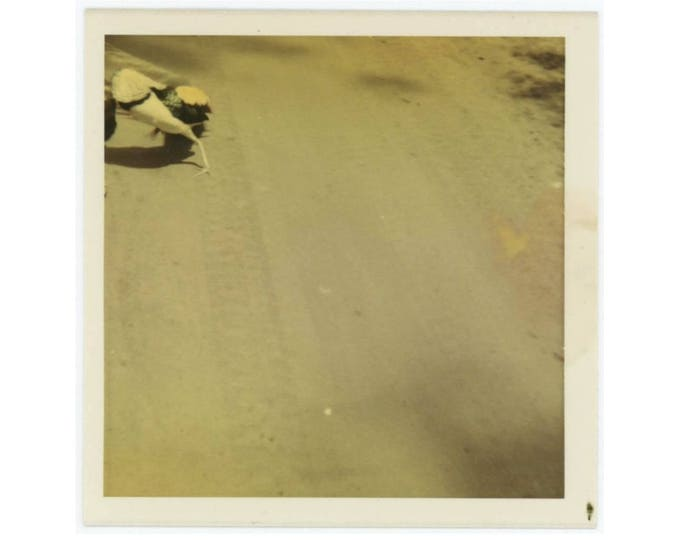Vintage Snapshot Photo: Bird, Tire Tracks, c1960s-70s (77591)