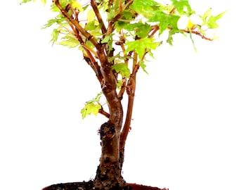 "9Greenbox - Grape Leafed Begonia - 4"" Pot"
