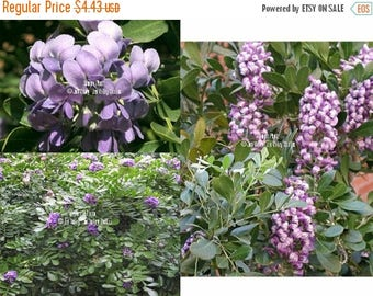 10 Seeds Mountain Laurel Tree Lavender Blooms Sweet Aroma of Spring Small perfect for container Bonsai standard Sophora secundiflora