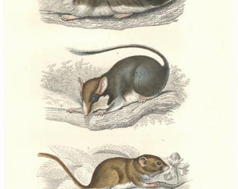 19th Century hand colored engraving of rats, decorative art, wall art, art decor, arts and crafts, free shipping
